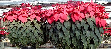 Ellison S Greenhouses Poinsettia Information
