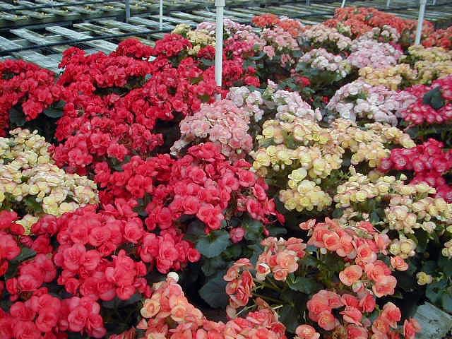 Nuestro jardín de Sa Possessió - Página 20 Rieger_begonias_various_colors_six_inch_